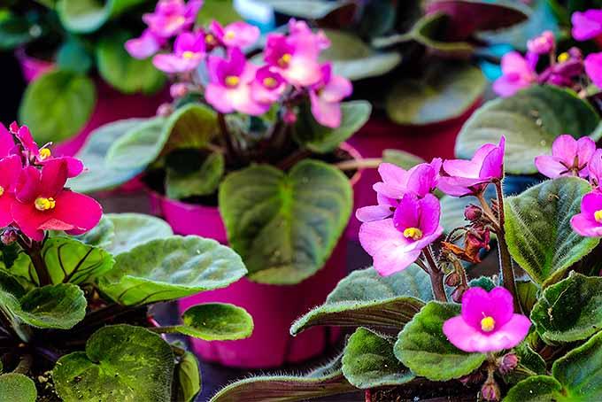 African-Violet-Cultivation-Tips.jpg