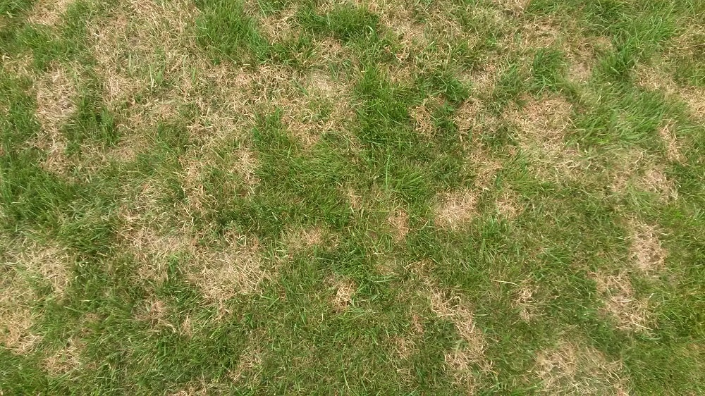 Brown patch in fescue lawn, late May