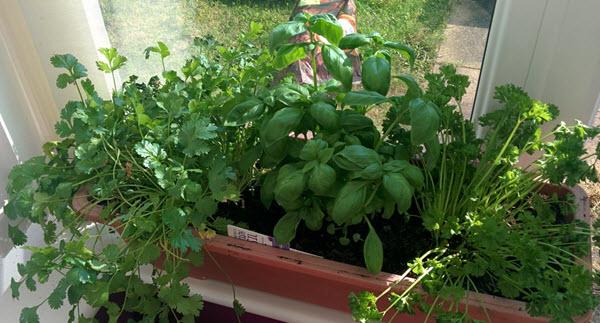 windowsill herbs.jpg