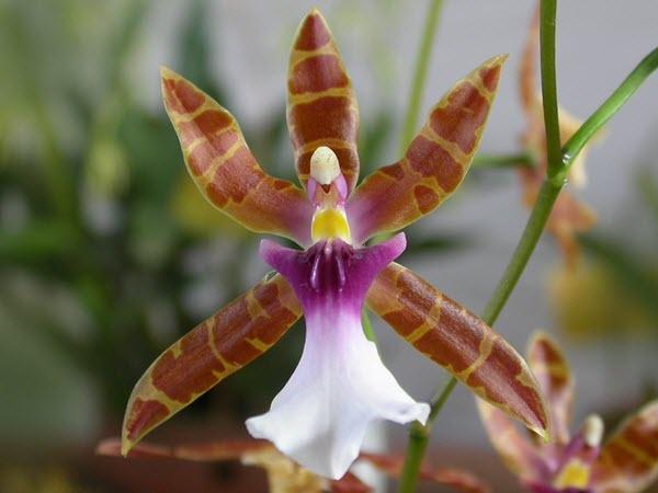 Miltonia clowesii