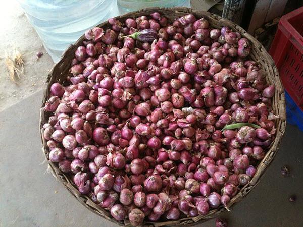 harvesting red onions.JPG