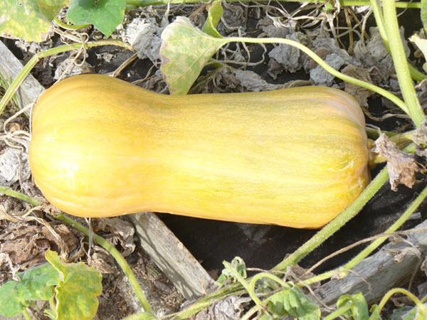 butternut squash growing.jpg