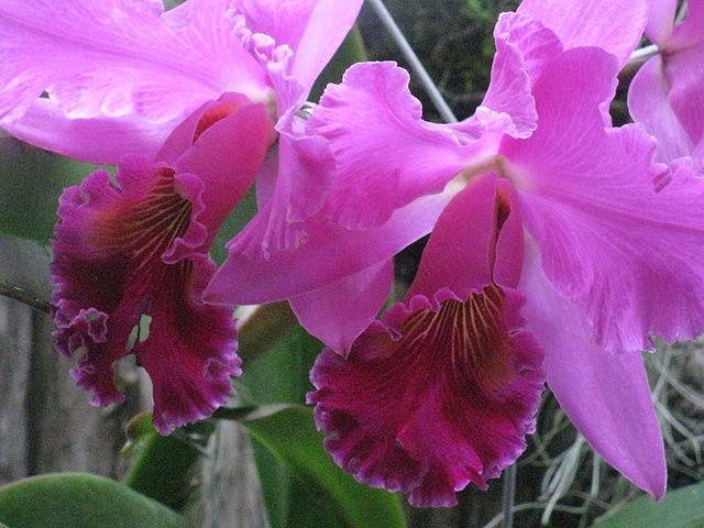 640px-Cattleya_Orchid_at_Allan_Gardens_2009.jpg