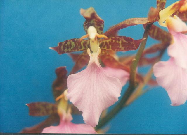 640px-A_and_B_Larsen_orchids_-_Odontoglossum_bictoniense_243-11.jpg