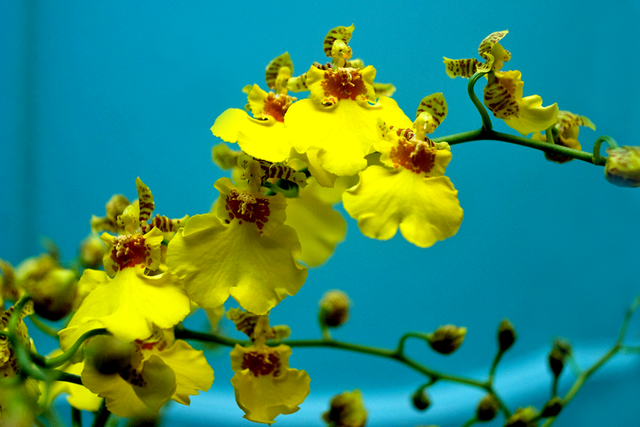 Yellow_oncidium_orchid_bloom.png