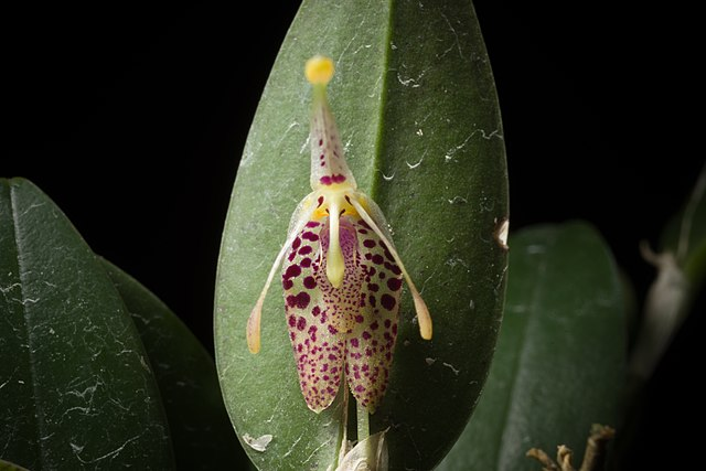 640px-Restrepia_muscifera_(Lindl.)_Rchb.f._ex_Lindl.,_Fol._Orchid._8-_7_(1859)_(23969399217).jpg