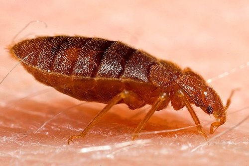 Do Bed Bugs Live Outside Where And How Long Can They Survive Outdoors