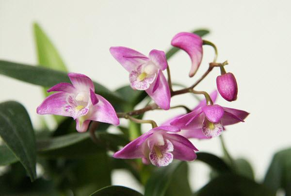 dendrobium kingianum.jpg