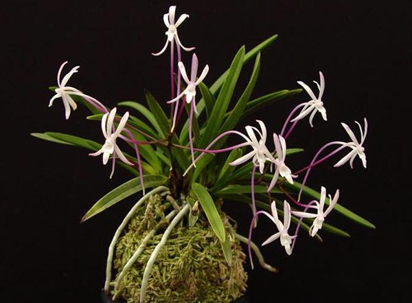 Via orchidweb