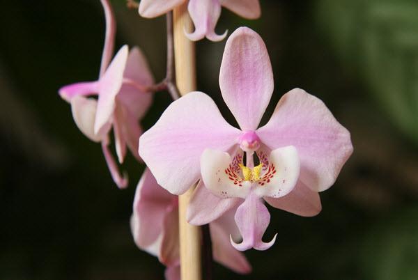phalaenopsis schilleriana.jpg