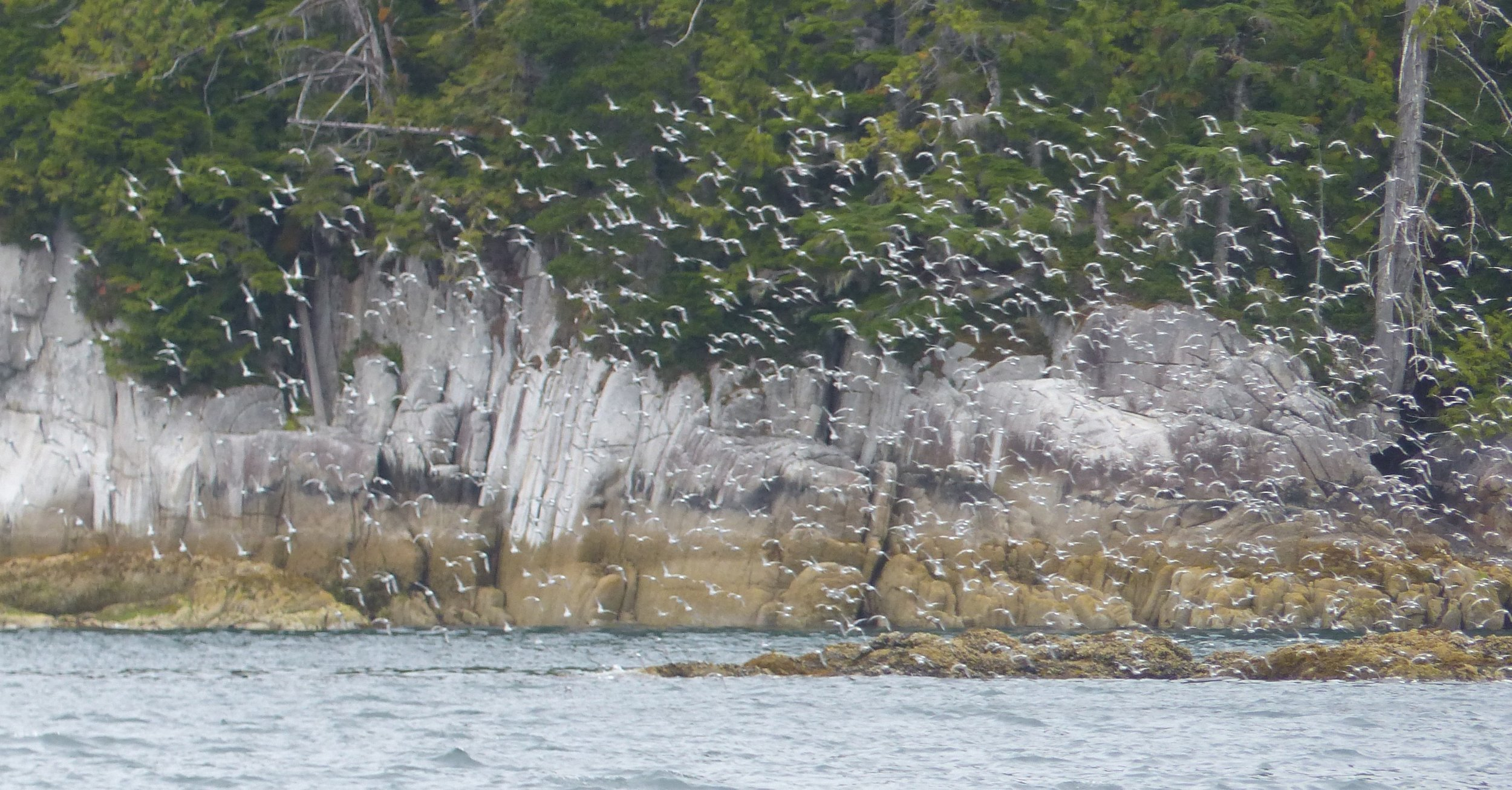 Seabirds and Basaltic columns - deep natural beauty we all need to protect from the potential for oil spills (Photo by P. Wilcox)