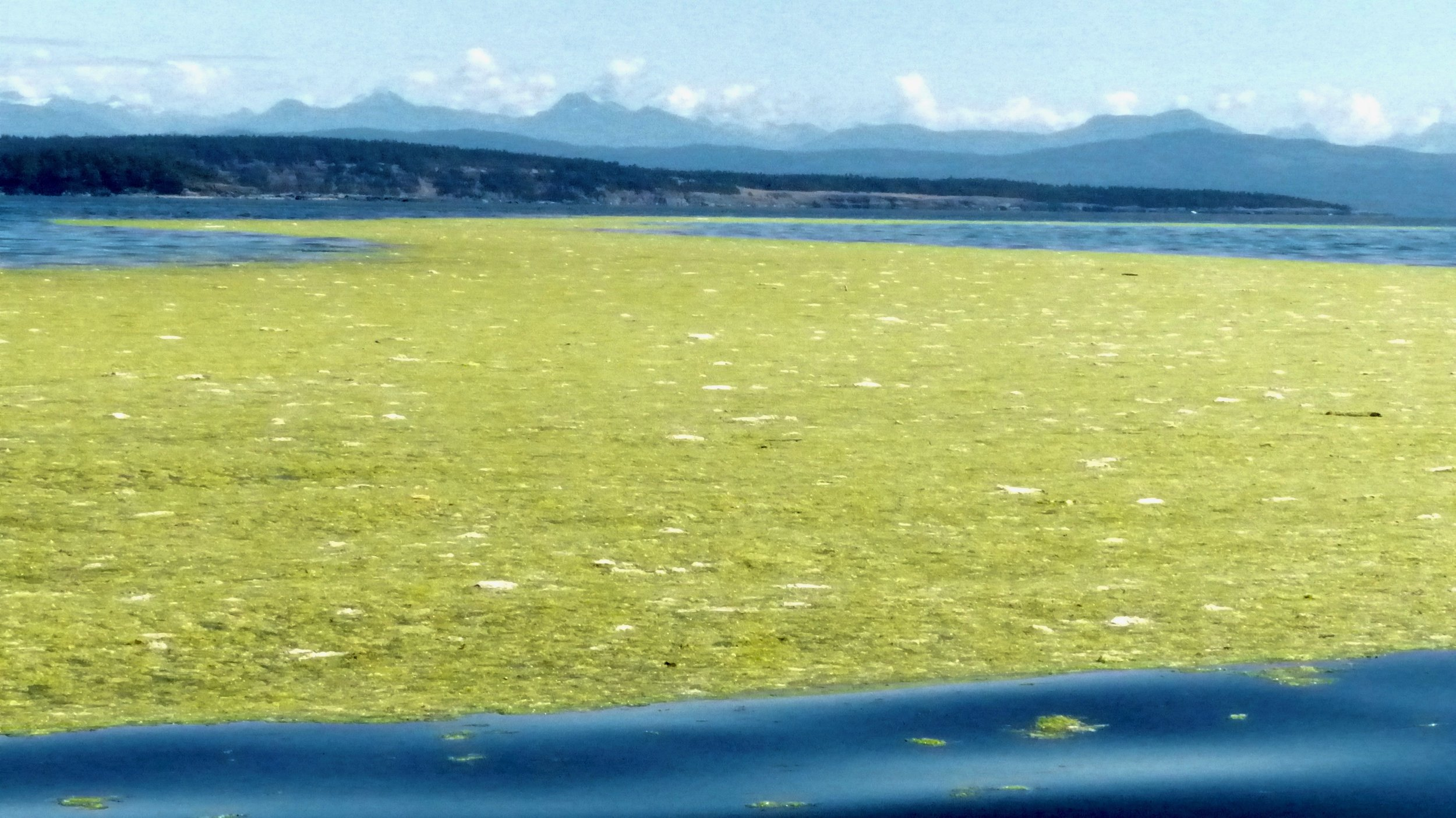 Georgia Strait Massive Algal Bloom 2016 (Photo by P. Wilcox)