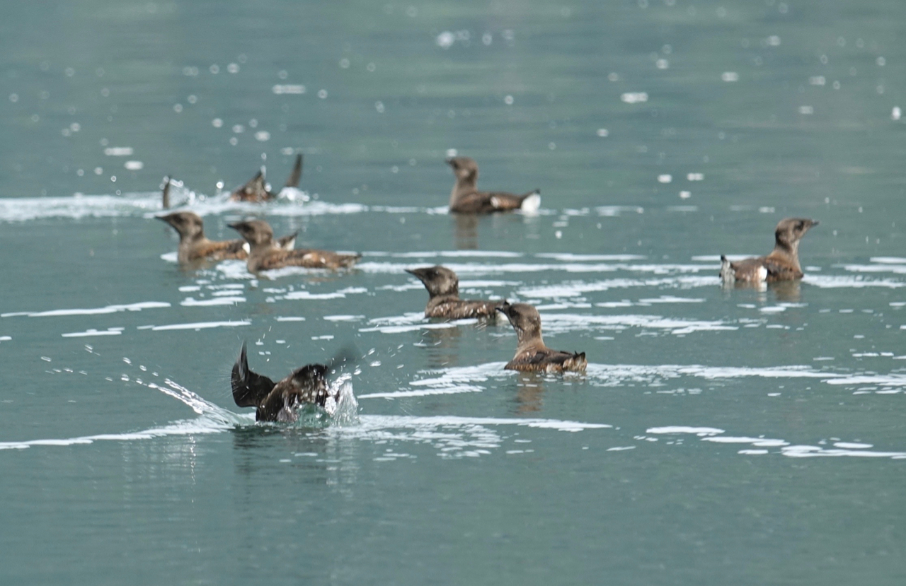Marbled Murrelets in Khutze Inlet (Photo by P. Wilcox)