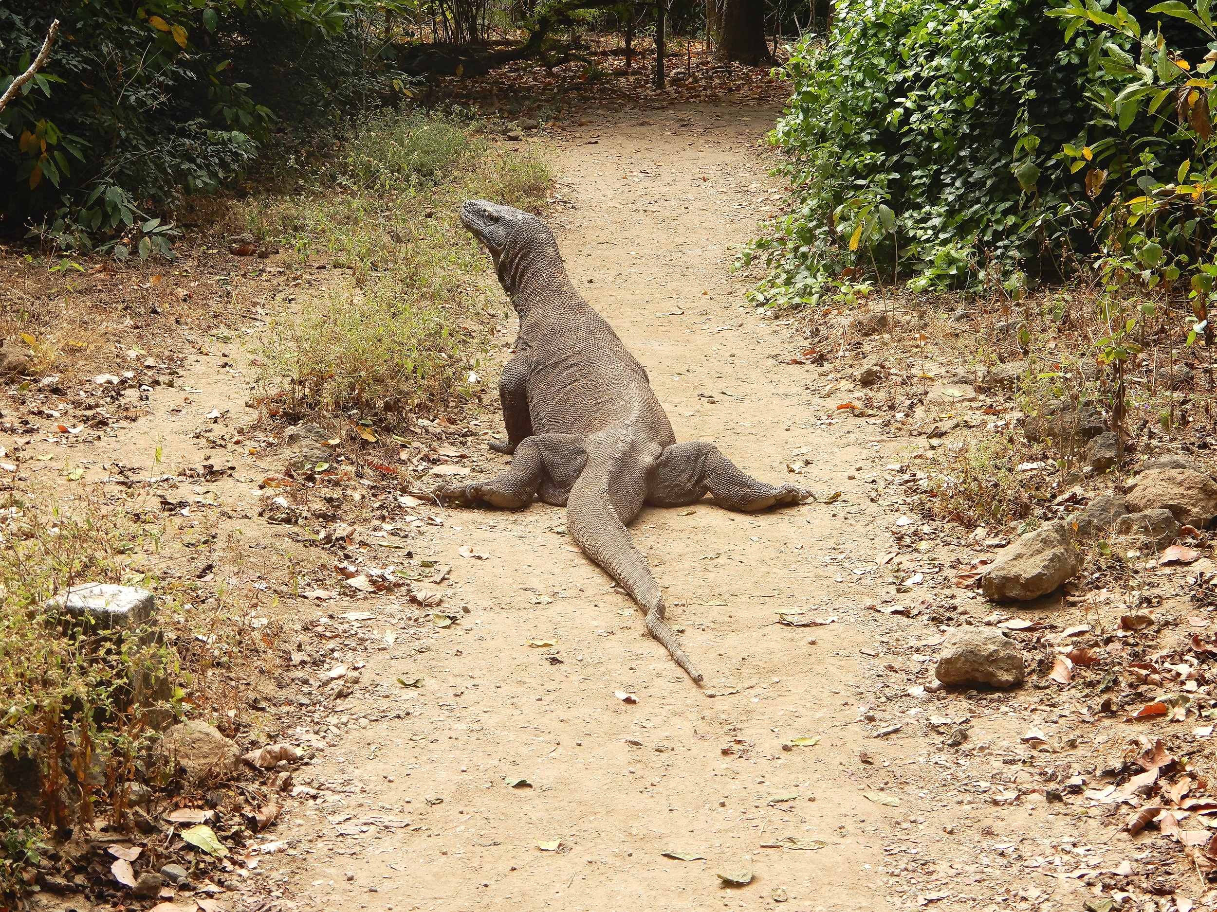 Komodo Dragon doing the splits, not something you see every day huh?