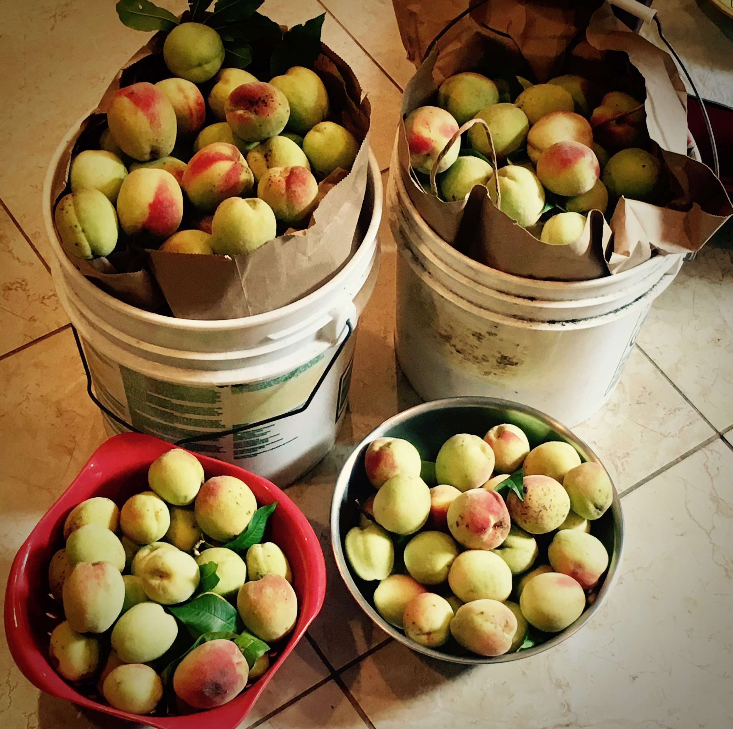 peaches picked and waiting.jpg