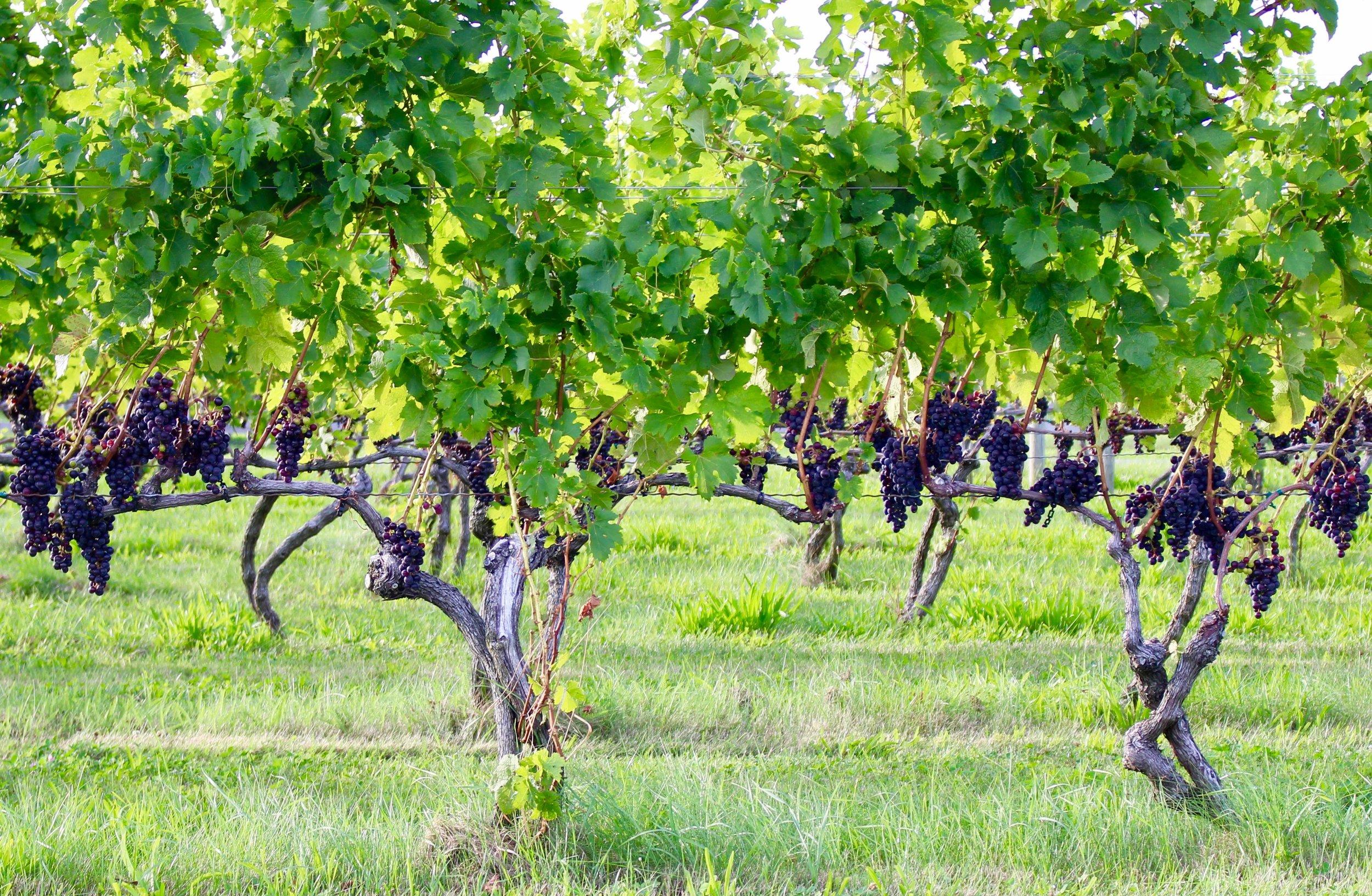 Reds Ripening on Vines