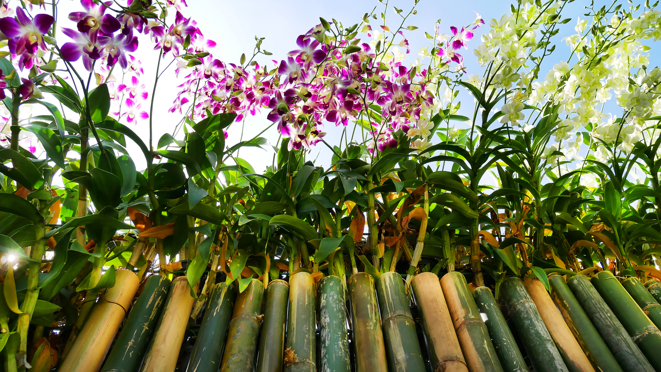 Orchids on a Bamboo Fence.