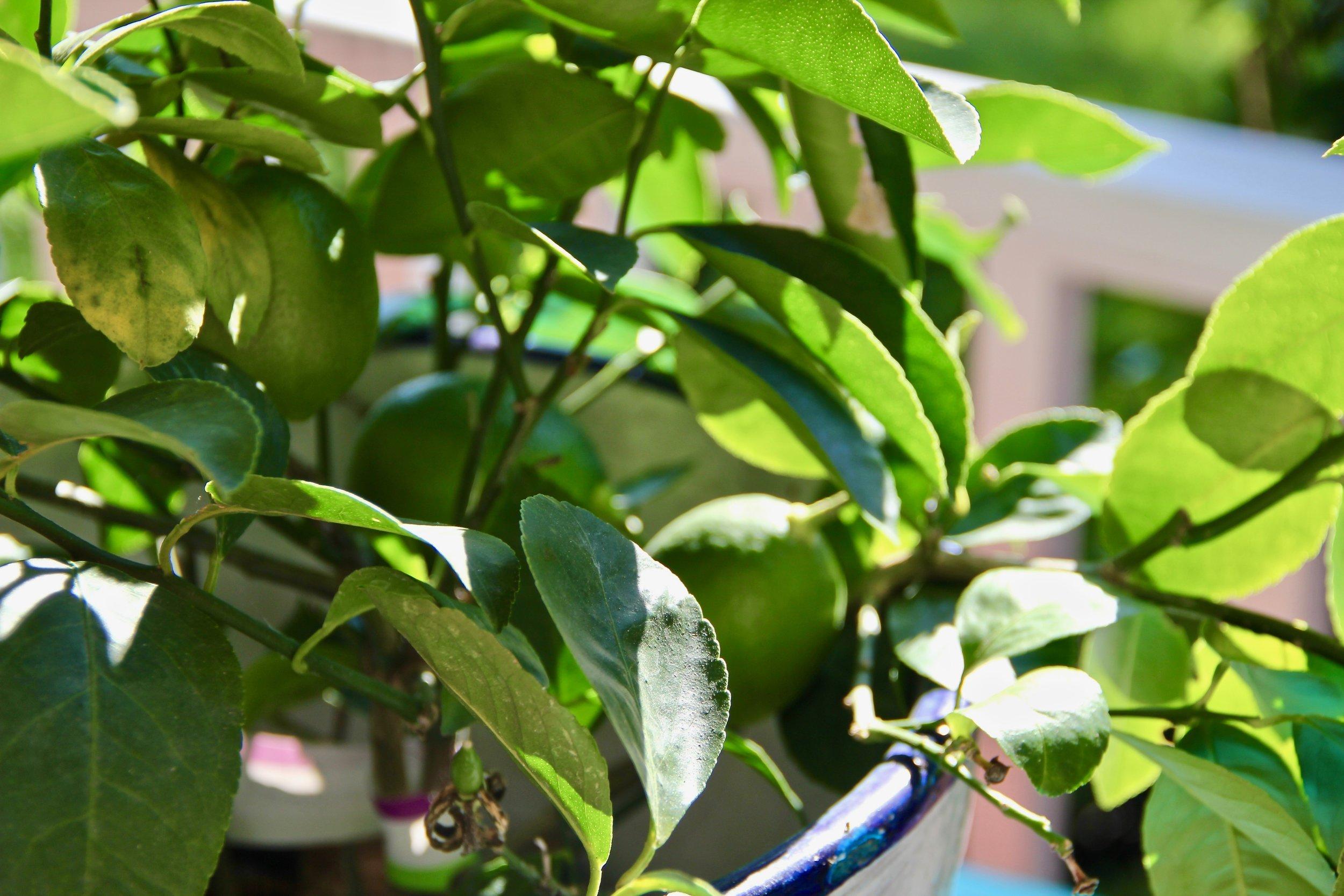More Meyer Lemons