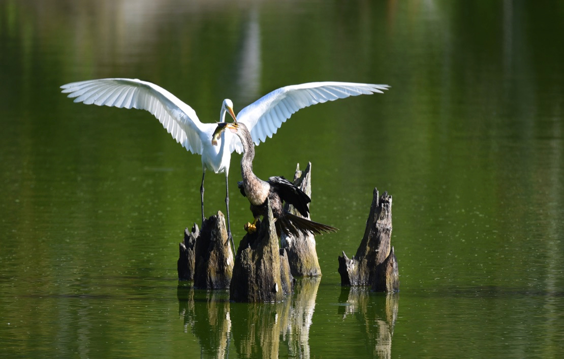 And this egret tried to steal its catch every time!