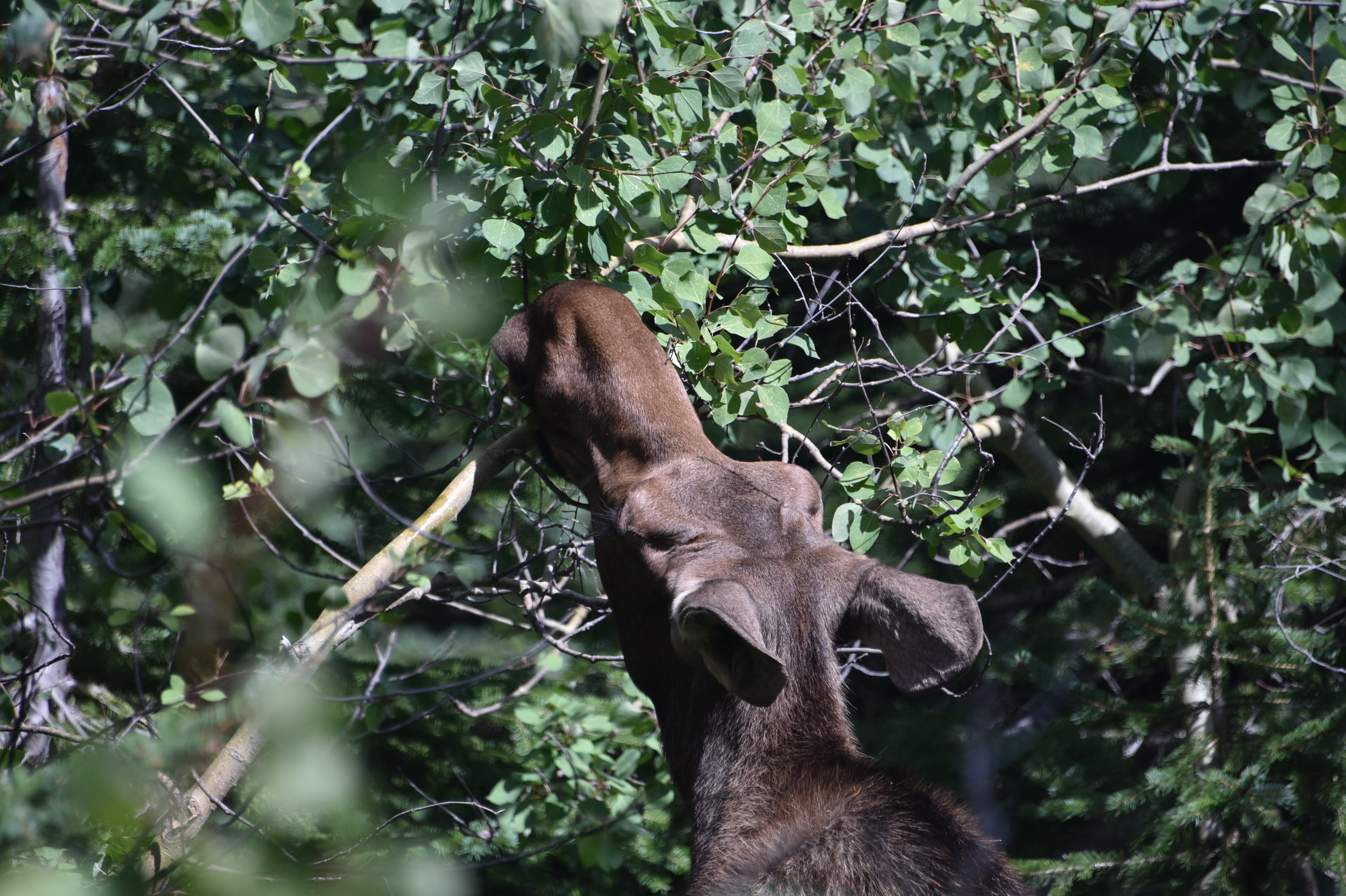 This cow moose surprised us next to the trail. Luckily she cared more about lunch than us!