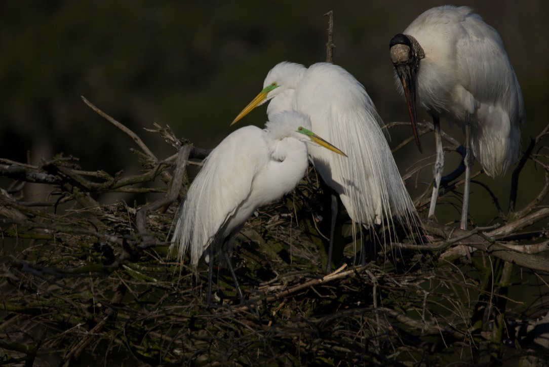 Great egrets with mating plumage. These birds were nearly hunted to extinction for their feathers which were used for hat decoration.