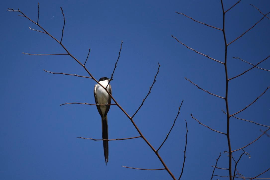 Scissortail fly catcher