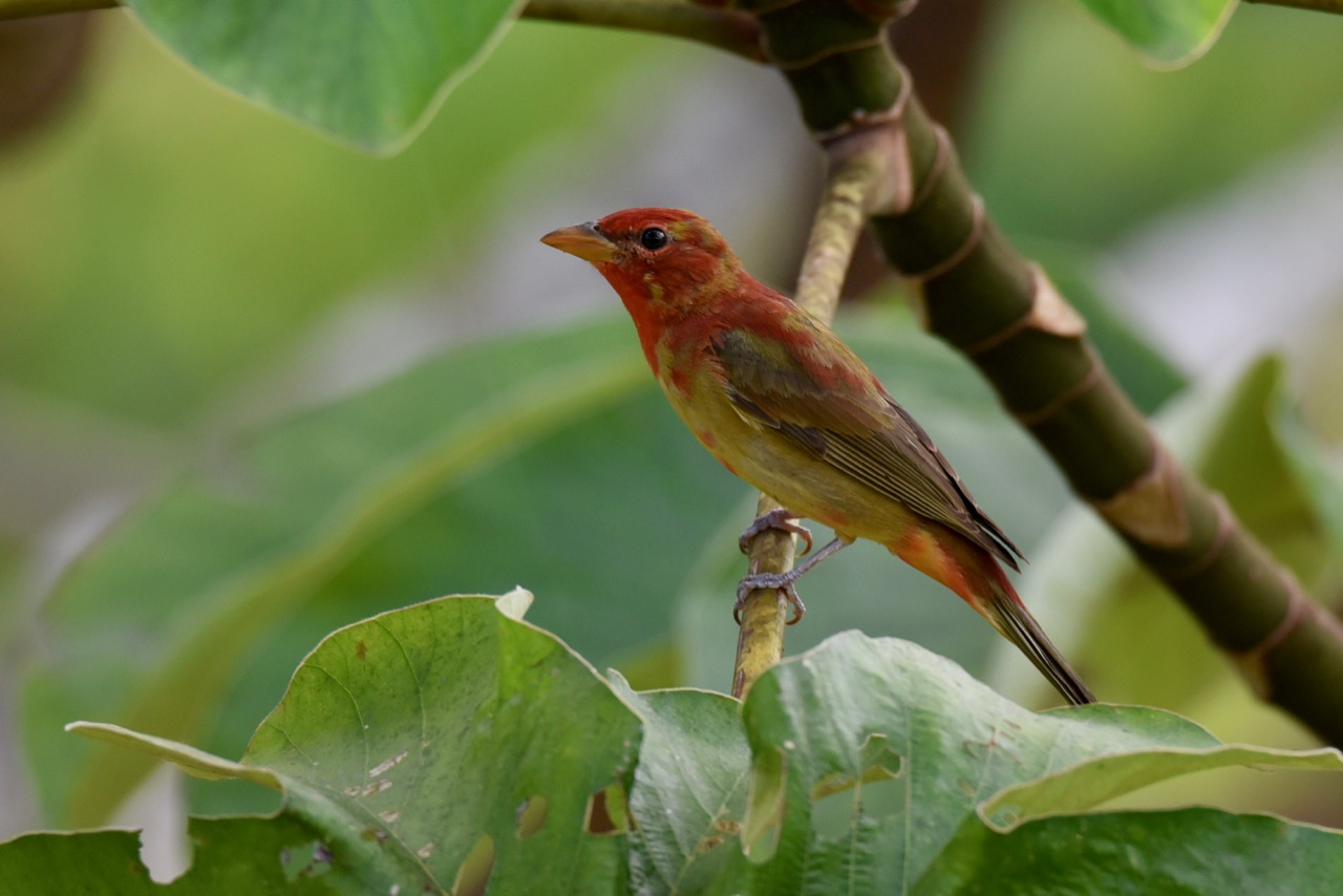 Adolescent summer tanager