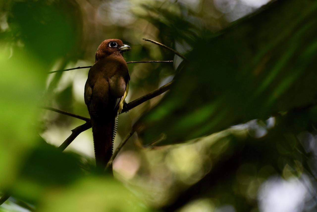 Black throated trogon female