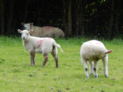 Sheep in Grasmere
