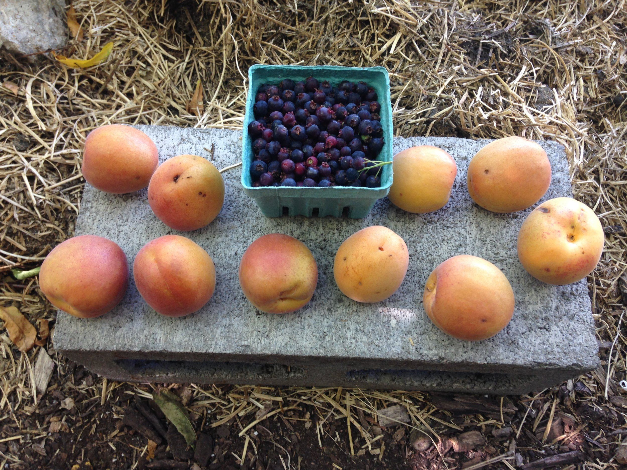 Apricot Goldbar and Serviceberry d.jpg