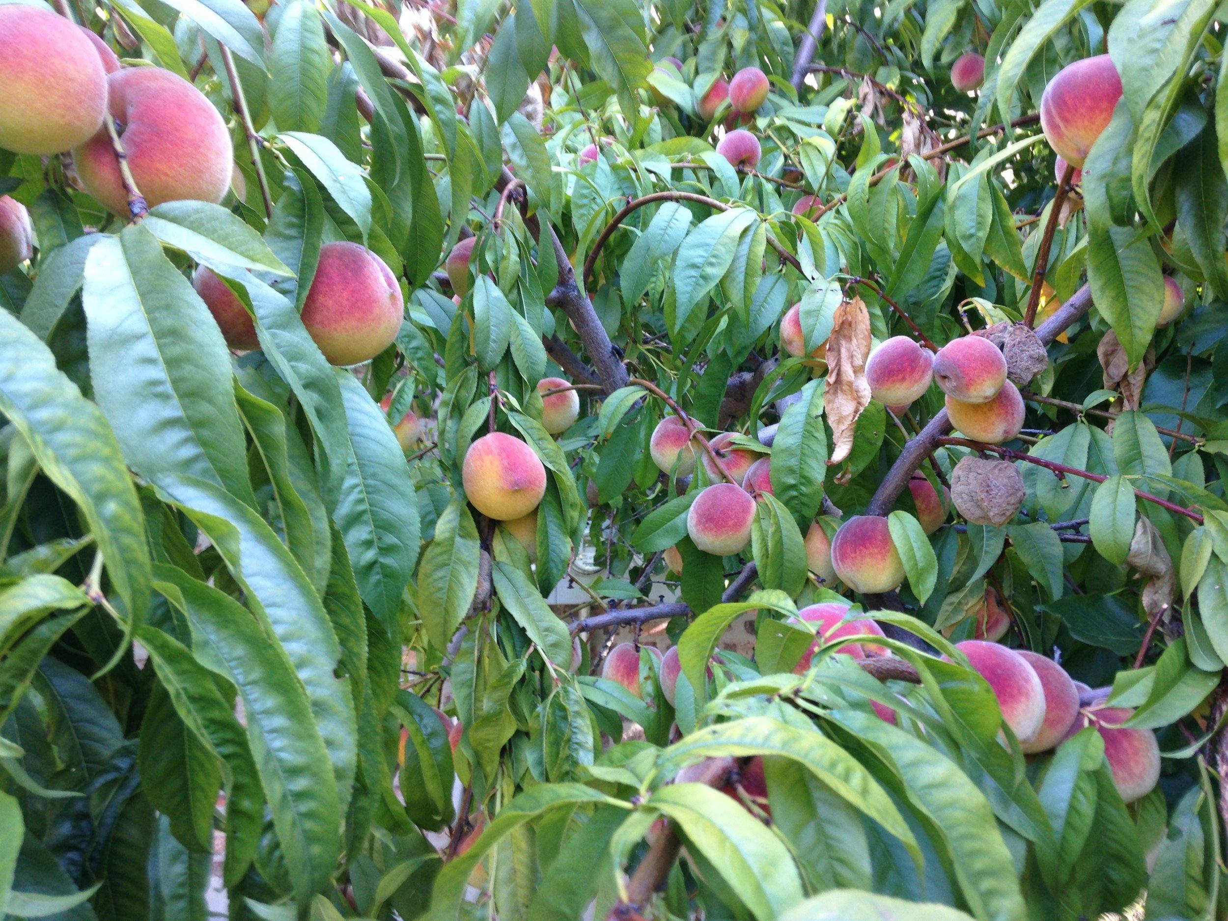 Peaches Cresthaven.jpg