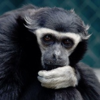 Pileated Gibbon -