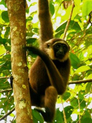 Agile gibbon  Bernat Ripoll, Borneo Nature Foundation