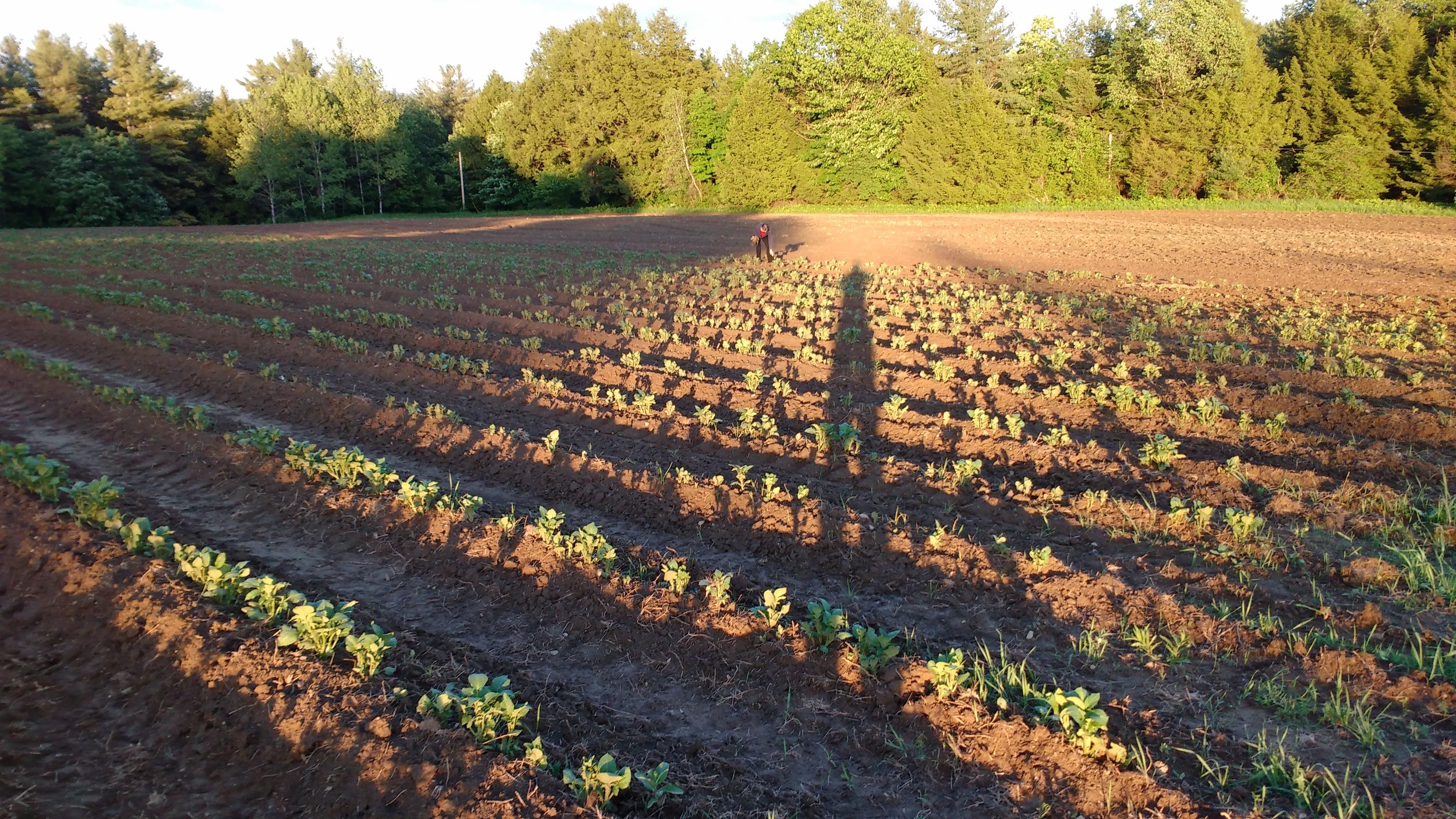 Potato plants 1.jpg