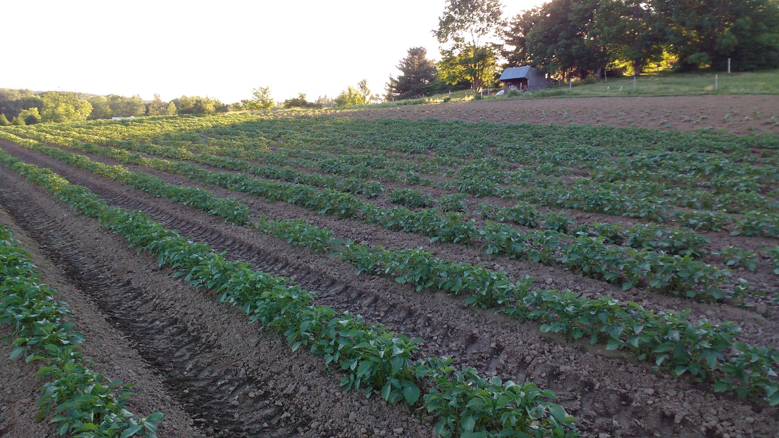 Potato plants 2.jpg