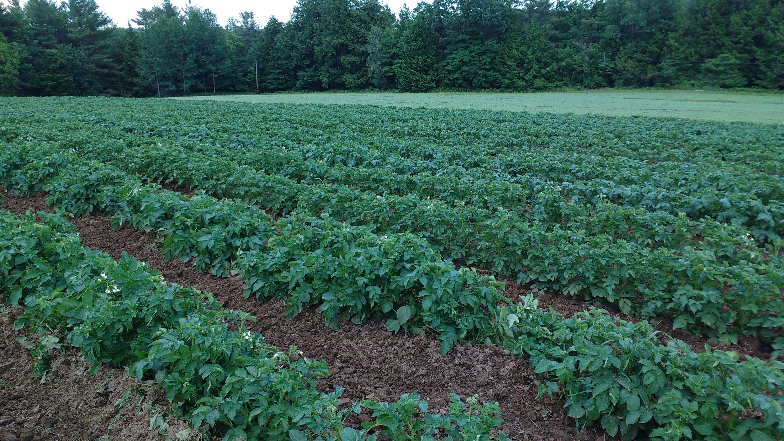 Potato plants 3.jpg