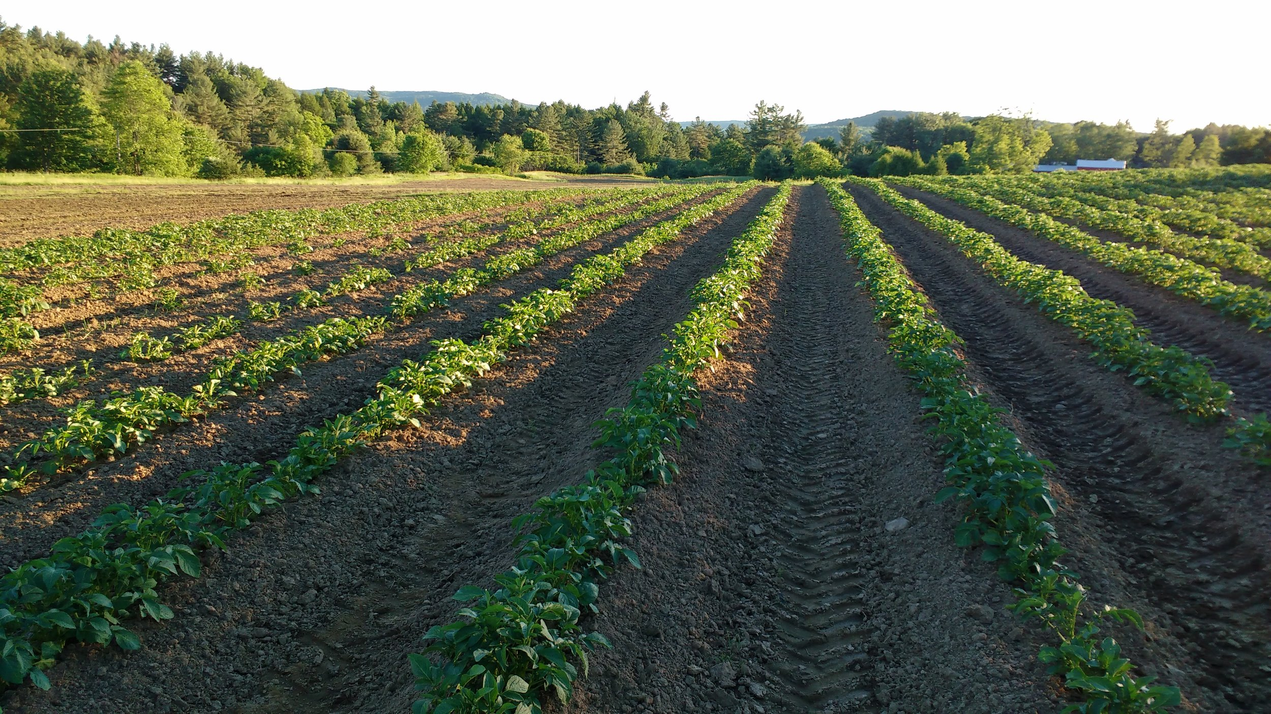 Potato plants 4.jpg
