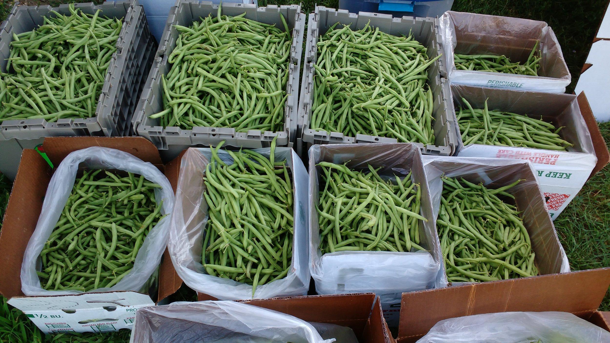 Bean harvest 4.jpg