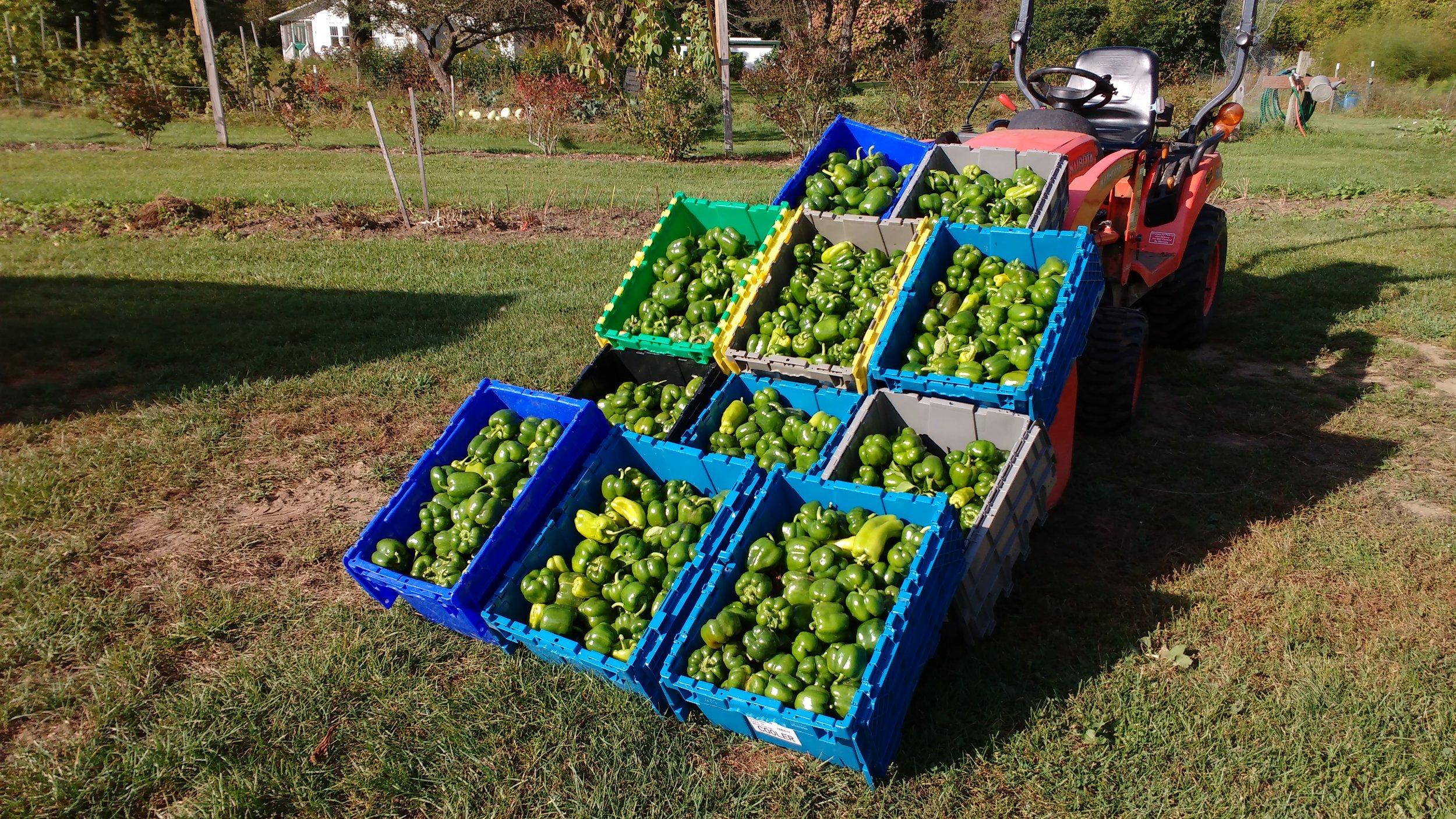 Pepper harvest.jpg