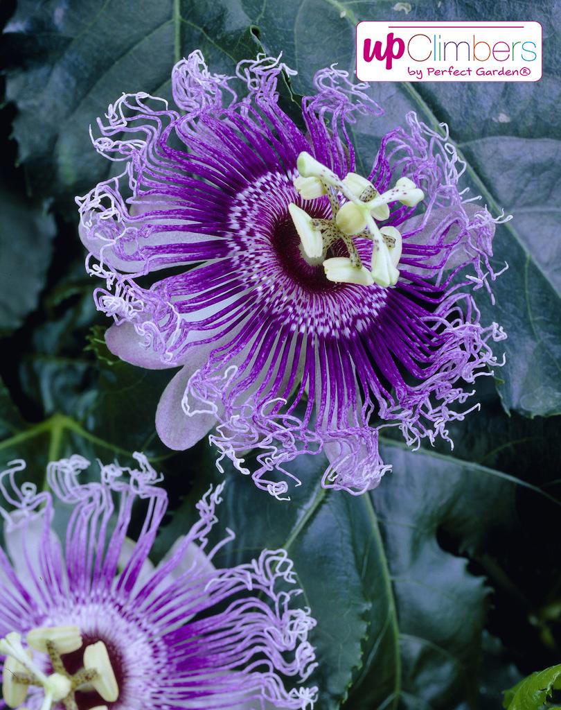visi19054-Passiflora.jpg