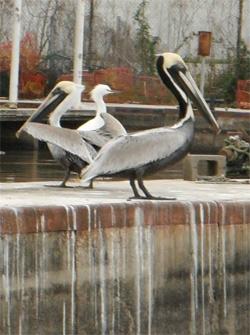 pelicans wetp.jpg
