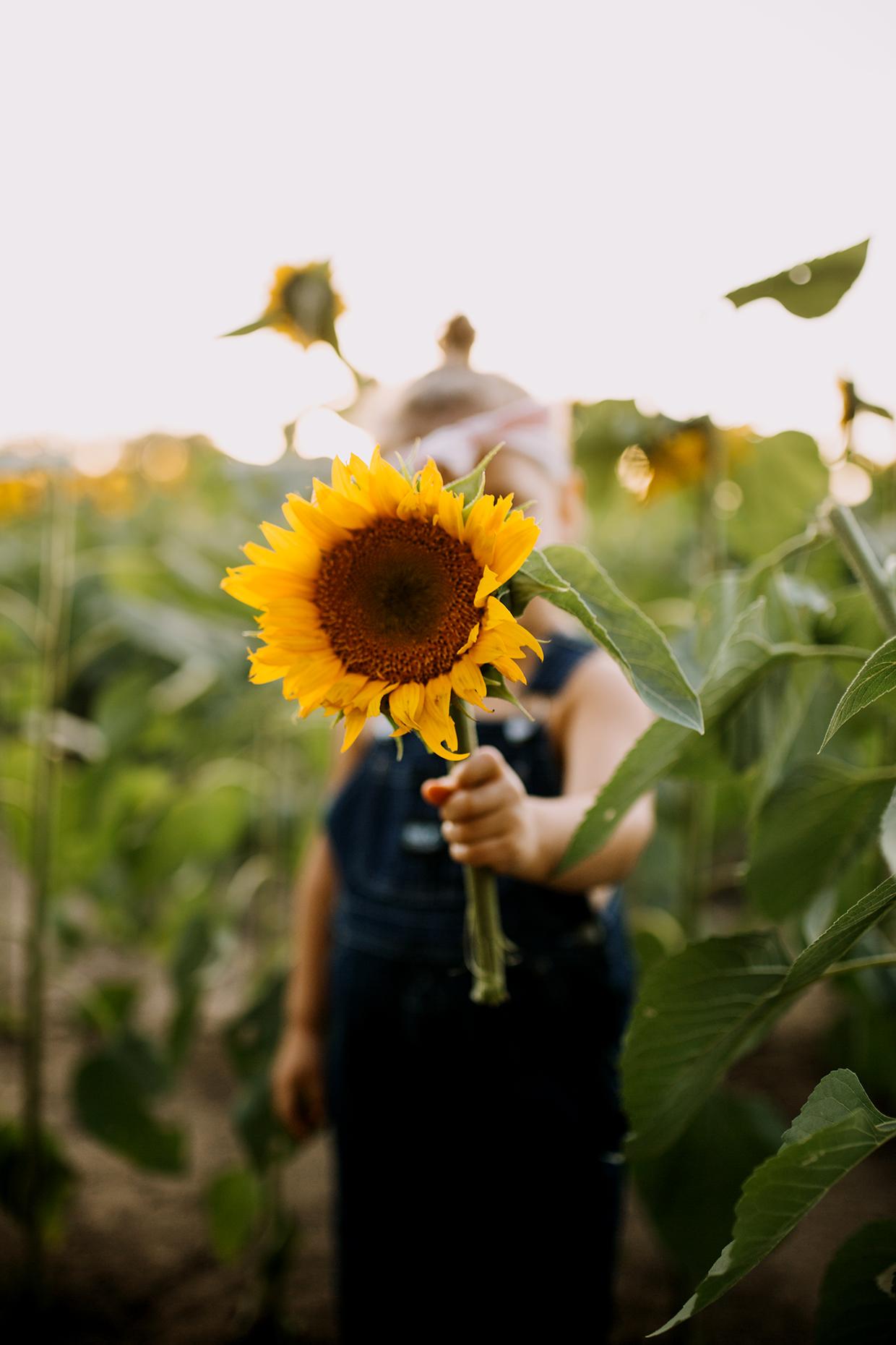 Lawrence Ks Sunflower Field Blog Molly Harmon Photography