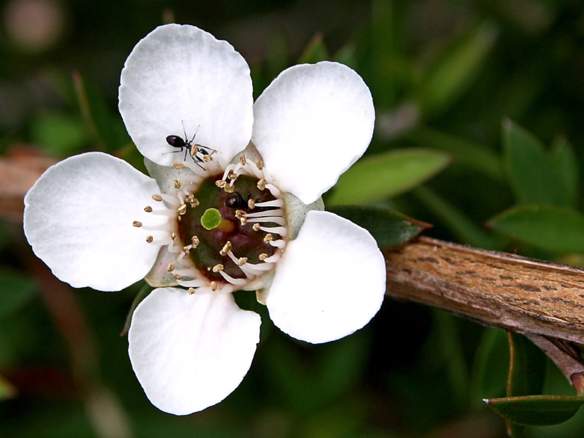 Manuka honey comes from the pollinated flower from the Manuka bush -