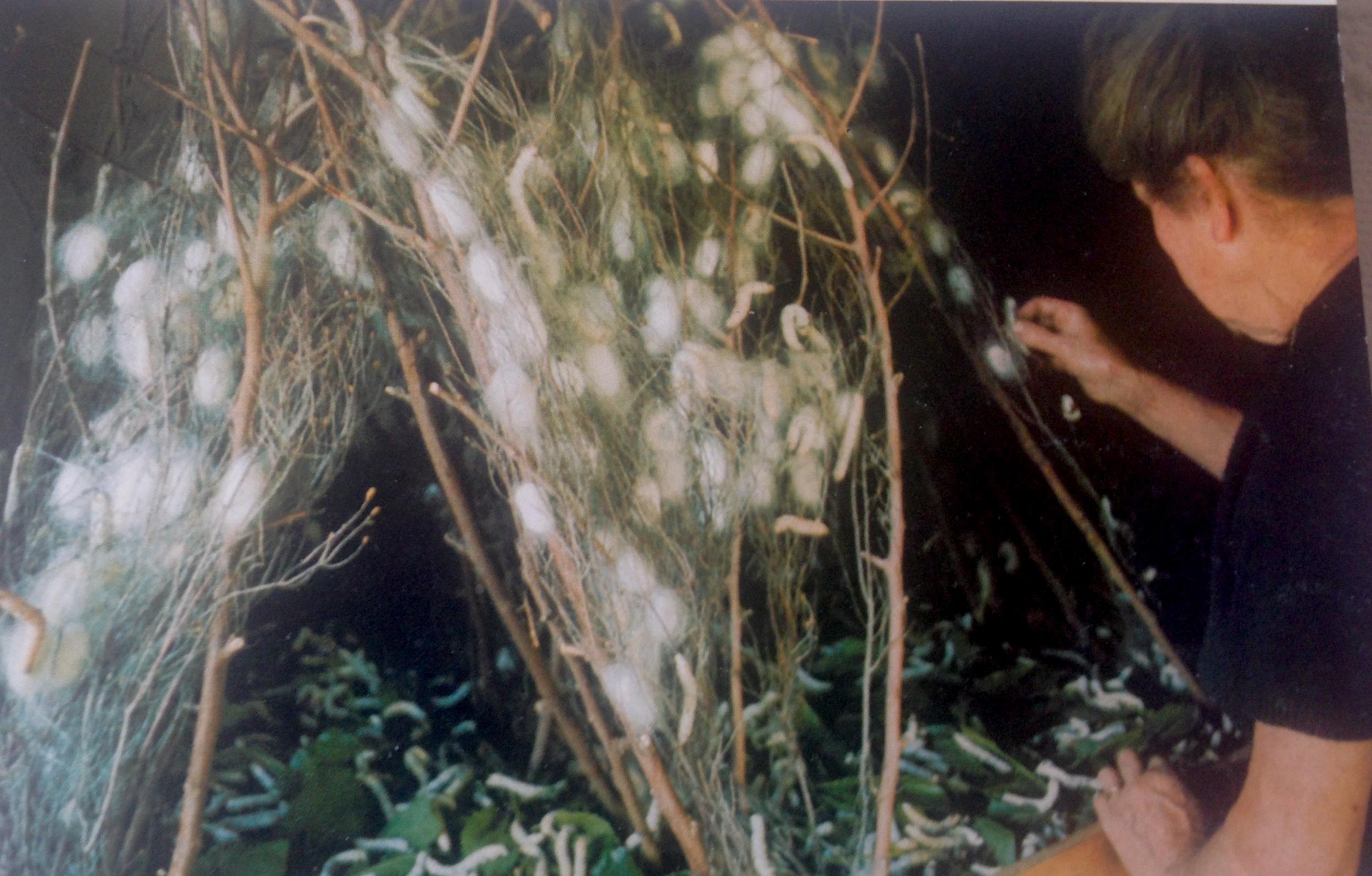 Dans la magnanerie ~ when the caterpillars climb the heather. Note the caterpillars feeding on mulberry leaves beneath. Photo from the book by Bernard Henry,  Des Métiers et des Hommes à la Lisière des Bois