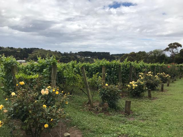 The vineyards at Paringa Estate on the Mornington Peninsula.