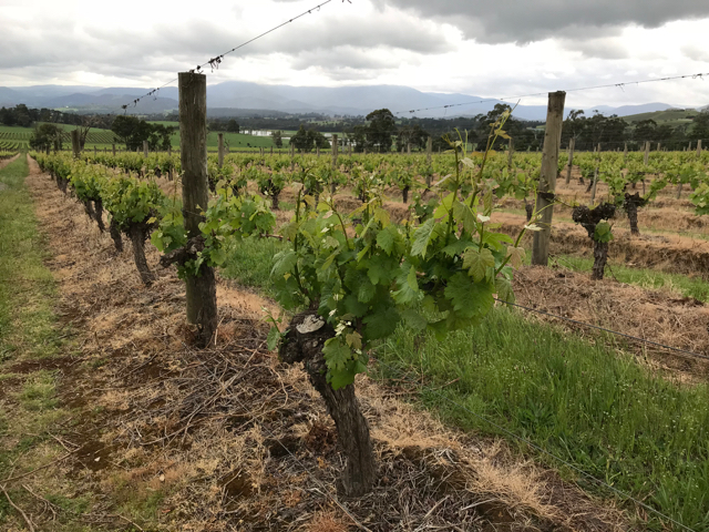 Cool-climate vineyards in the Yarra Valley, Australia..