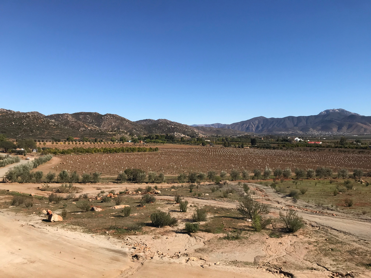 There is a tremendous amount of vineyard expansion in process in Valle de Guadalupe (the white dots are protective cardboard sleeves around each young vine).