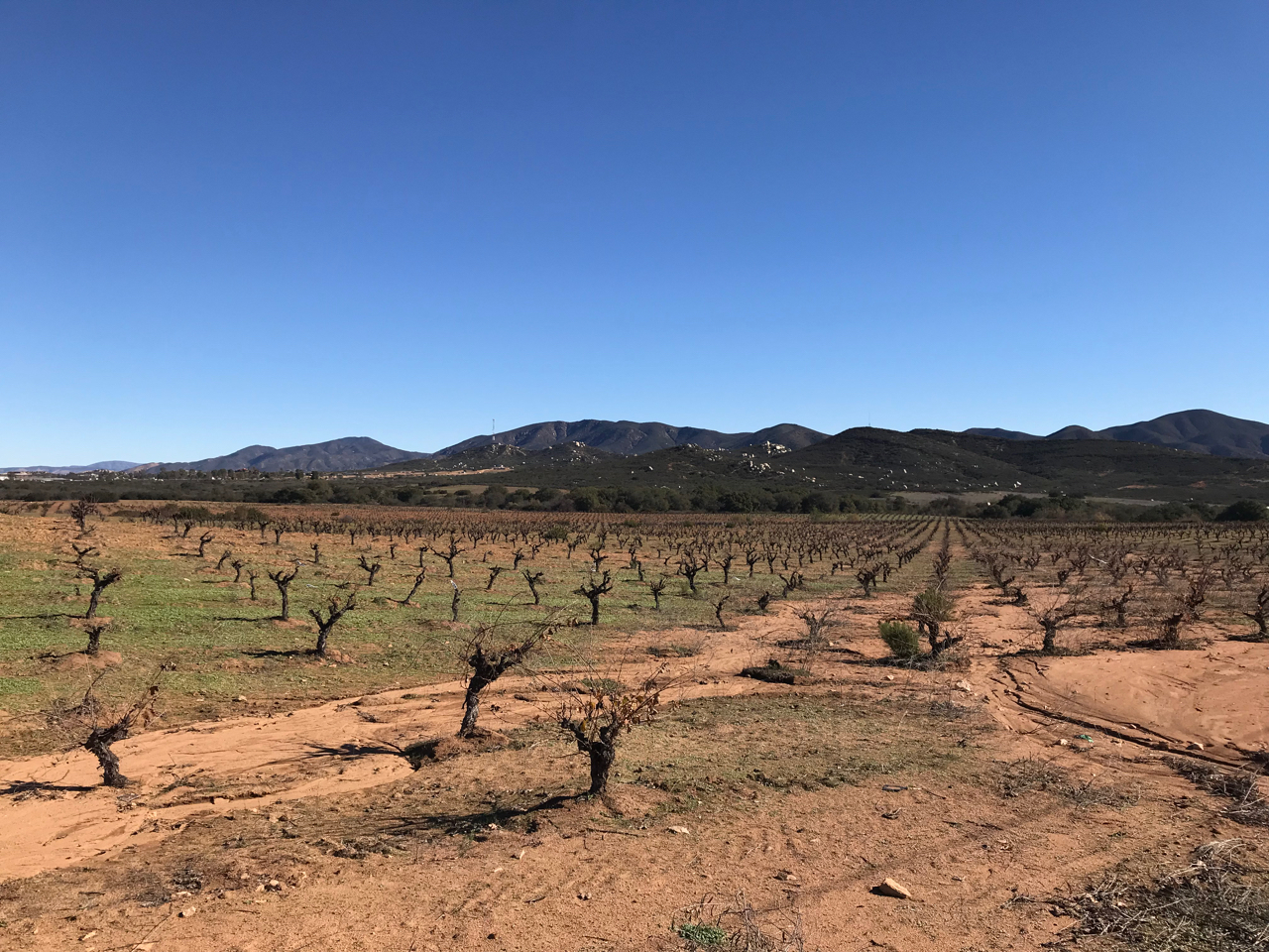 Common in the hot vineyards of Spain, gobelet pruning is labor-intensive to maintain but keeps grapes covered by leaves and close to the ground for a cooling effect.