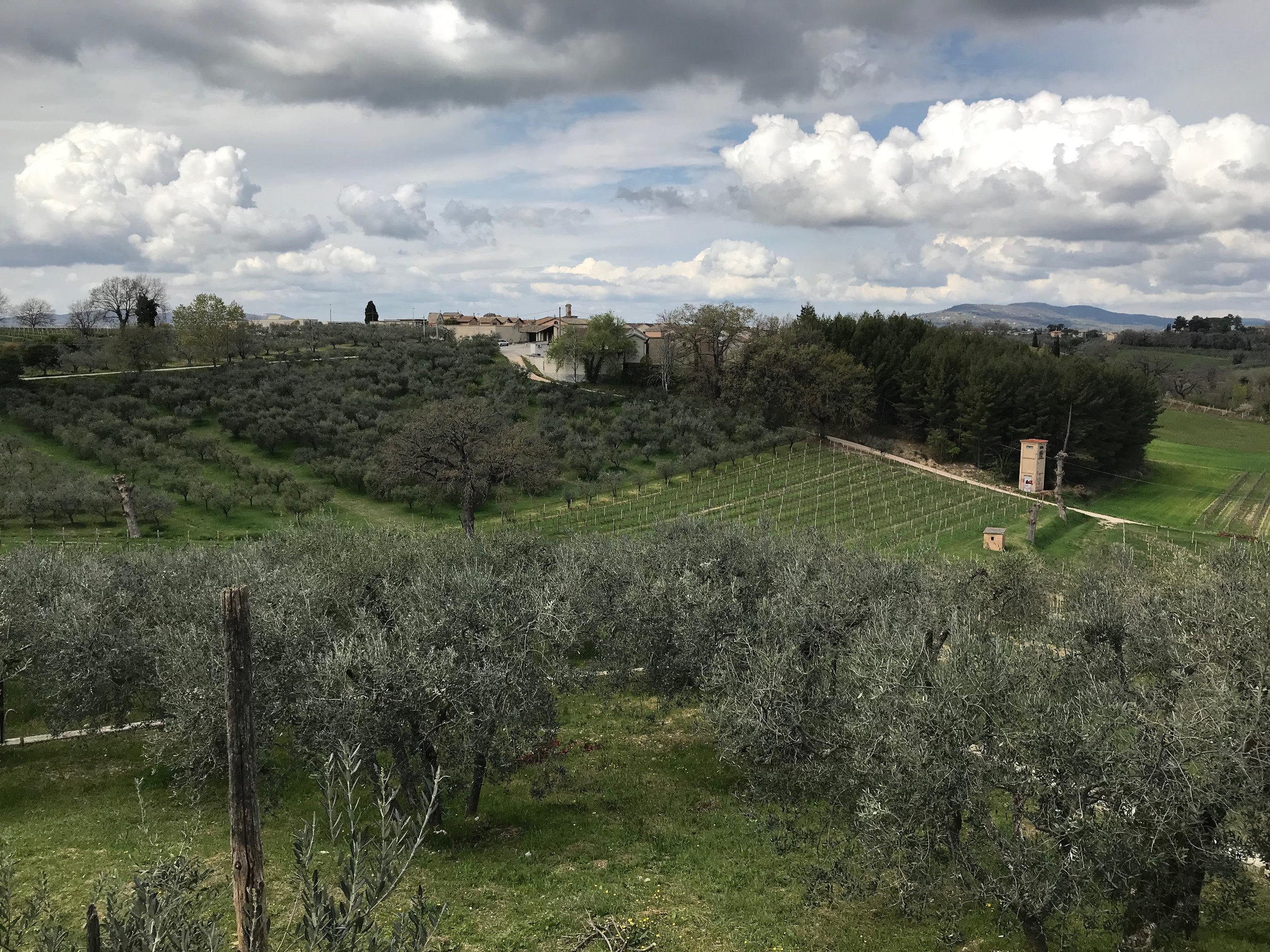 The view from Paulo Bea. Olive trees and vineyards are a typical juxtaposition in Montefalco.