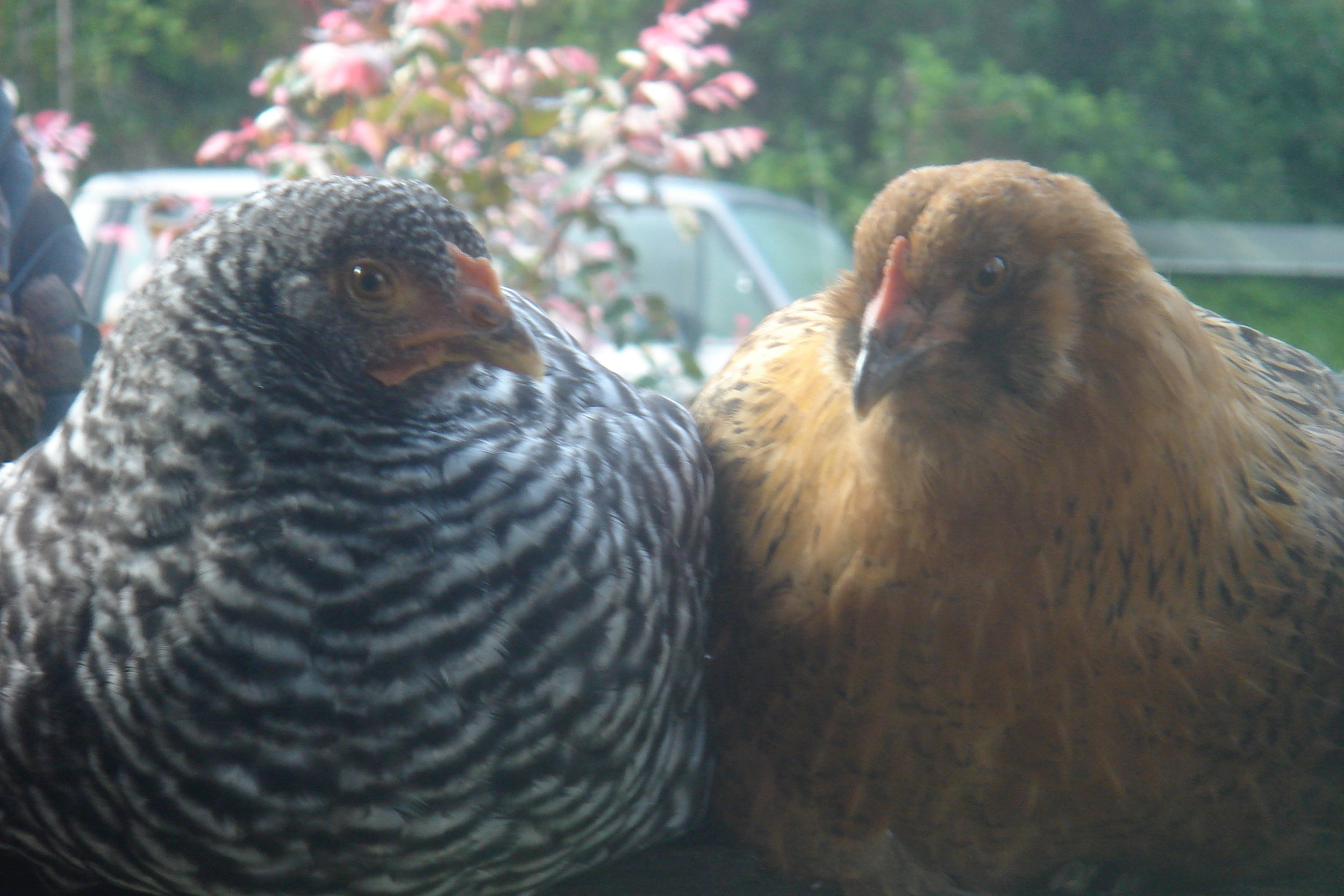 Two of our Hawaii girls - Motown and Ginger